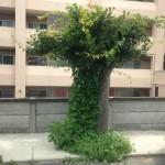 朝顔と楓の木