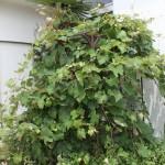 A grape tree in Iwaki City